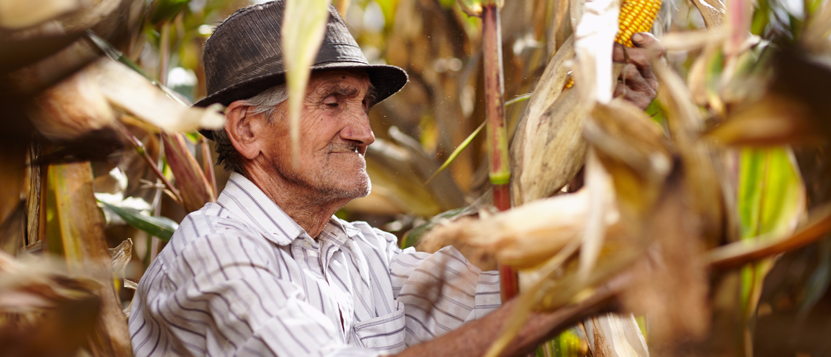 An old man harvests corn by hand (Photo: Shutterstock/Catalin Petolea)