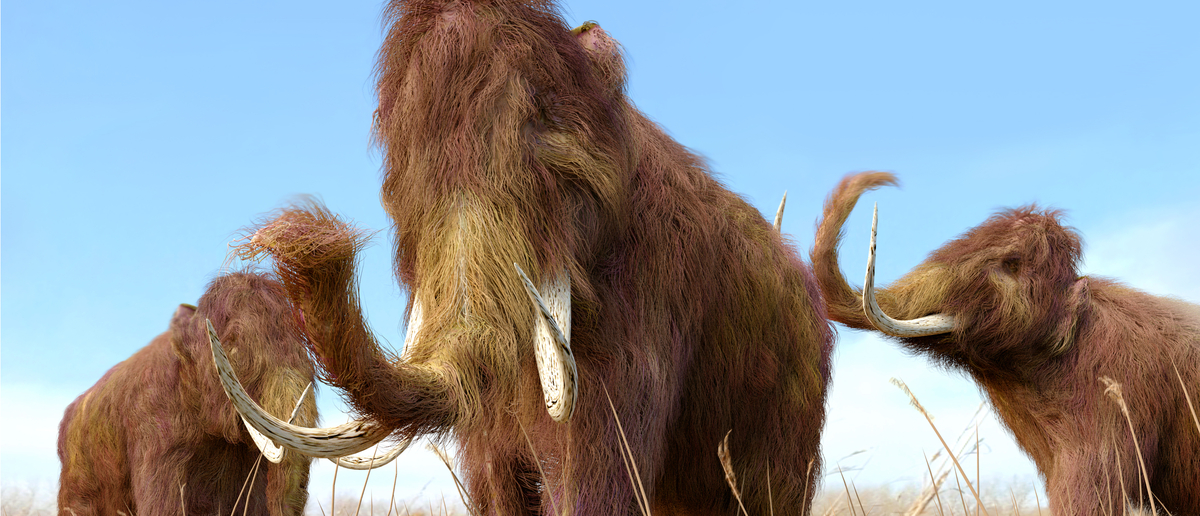 Woolly mammoths could roam the earth again in a few years (Photo: Shutterstock/AuntSpray)