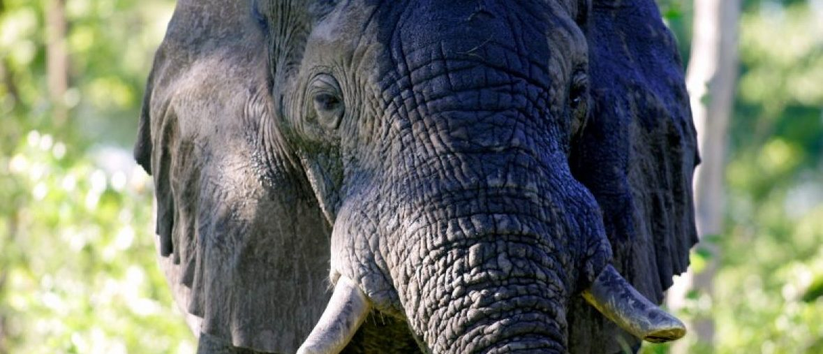 FILE PHOTO - A male African elephant mock-charges in the Okavango Delta in Botswana on March 25, 2005. REUTERS/Thomas White/File Photo