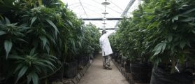 An employee checks cannabis plants at a medical marijuana plantation in northern Israel March 21, 2017. Picture taken March 21, 2017. REUTERS/Nir Elias