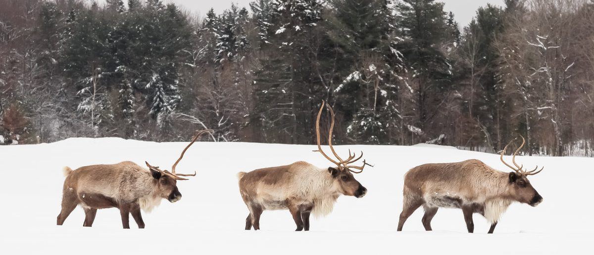 Caribou in winter (Shutterstock/Josef Pittner)