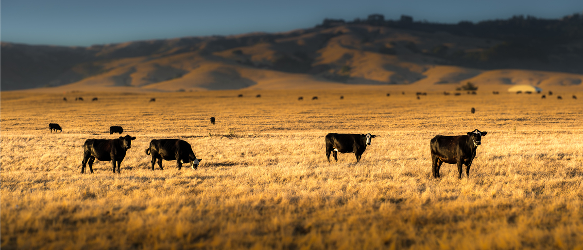 Cattle grazing on a ranch (Photo: Shutterstock/P Sarajoti)