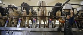 A worker cleans the cows prior to getting milked on the milking carousel at Fair Oaks Farms in Fair Oaks, Indiana, November 4, 2013. Picture taken November 4, 2013. REUTERS/Jim Young