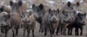 Wild Boars Kill Three ISIS Members In Raid