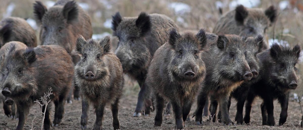 A herd of wild boars in a clearing. Source: Shutterstock/Jausa