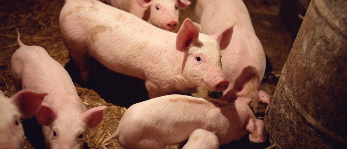 A pig (Shutterstock/Dusan Petkovic)