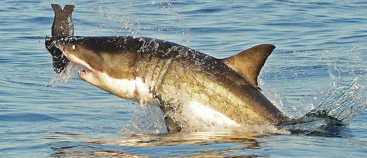 A Great White shark jumps out of the water as it bites a fake decoy seal near False Bay, on July 4, 2010. (PHOTO/Carl de Souza/AFP/Getty Images)