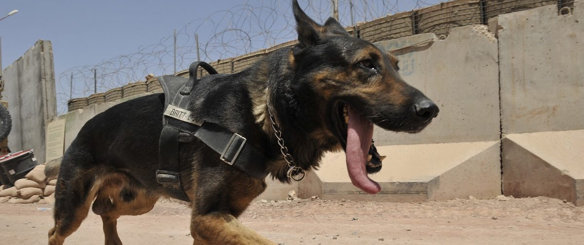This photograph taken on July 24, 2011 shows Britt, a 6-year old German Shepherd and handler US Army Sergeant Brian Malbrough (not in photo) of US Forces Afghanistan K-9 unit on a patrol mission with troops from 1st Battalion 67th Armoured Regiment, Task Force Dealers in Arghandab district. Britt who has a rank of Staff Sergeant is trained as an attack dog and to detect bombs and improvised explosive devices (IED). Britt found a mortar round during a bomb clearance mission in July. Military working dogs are currently deployed in Afghanistan saving lives of coalition forces in its war against Taliban insurgents as the war mark its 10th year. Britt and handler Sgt. Malbrough did their first combat duty together in Iraq in 2009. Romeo Gacad/AFP/Getty Images.