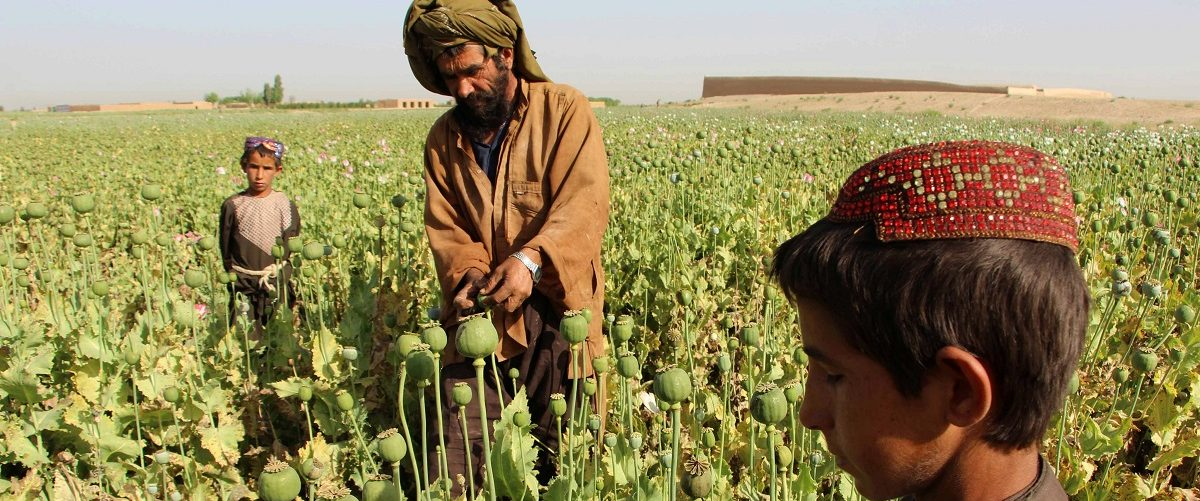 Afghan farmers harvest opium sap from a poppy field in the Gereshk district of Helmand on April 11, 2017. The US government has spent billions of dollars on a war to eliminate drugs from Afghanistan, but the country still remains the world's top opium producer. Noor Mohammad/AFP/Getty Images.