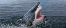 Great white shark [Shutterstock - Martin Prochazkacz]