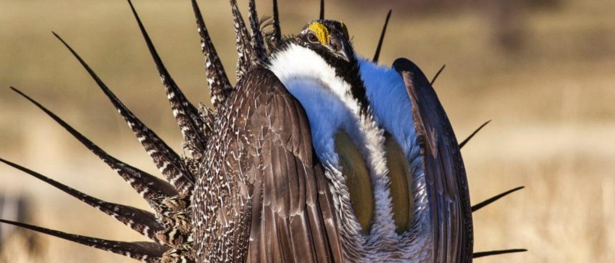 FILE PHOTO - U.S. Bureau of Land Management photo of sage grouse