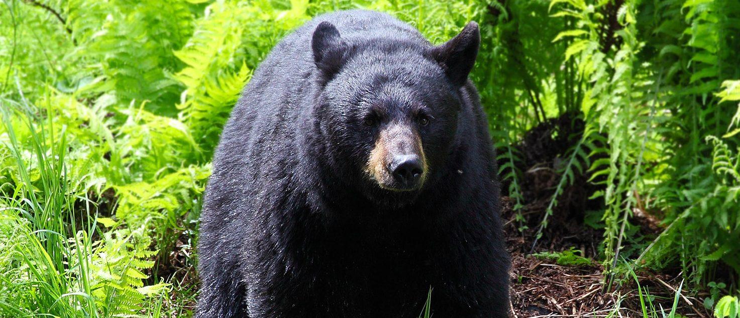 Black Bear (PHOTO: Wyatt Rivard/Shuttertock)