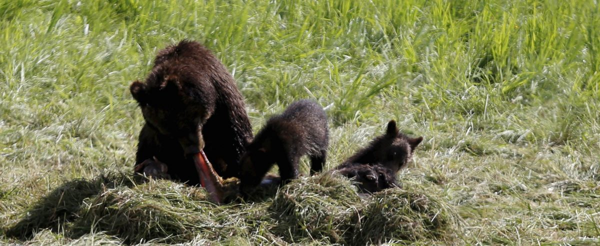 A grizzly bear and her two cubs feed on the carcass of a bison in Yellowstone National Park in Wyoming, United States, July 6, 2015. REUTERS/Jim Urquhart - RTX1JARU