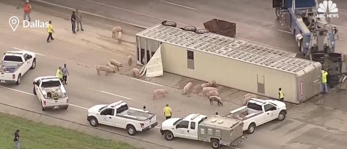 Police are trying to round up several pigs that got loose on a highway after a truck crash near Dallas. [Screenshot/Facebook/Public - User: NBC News]