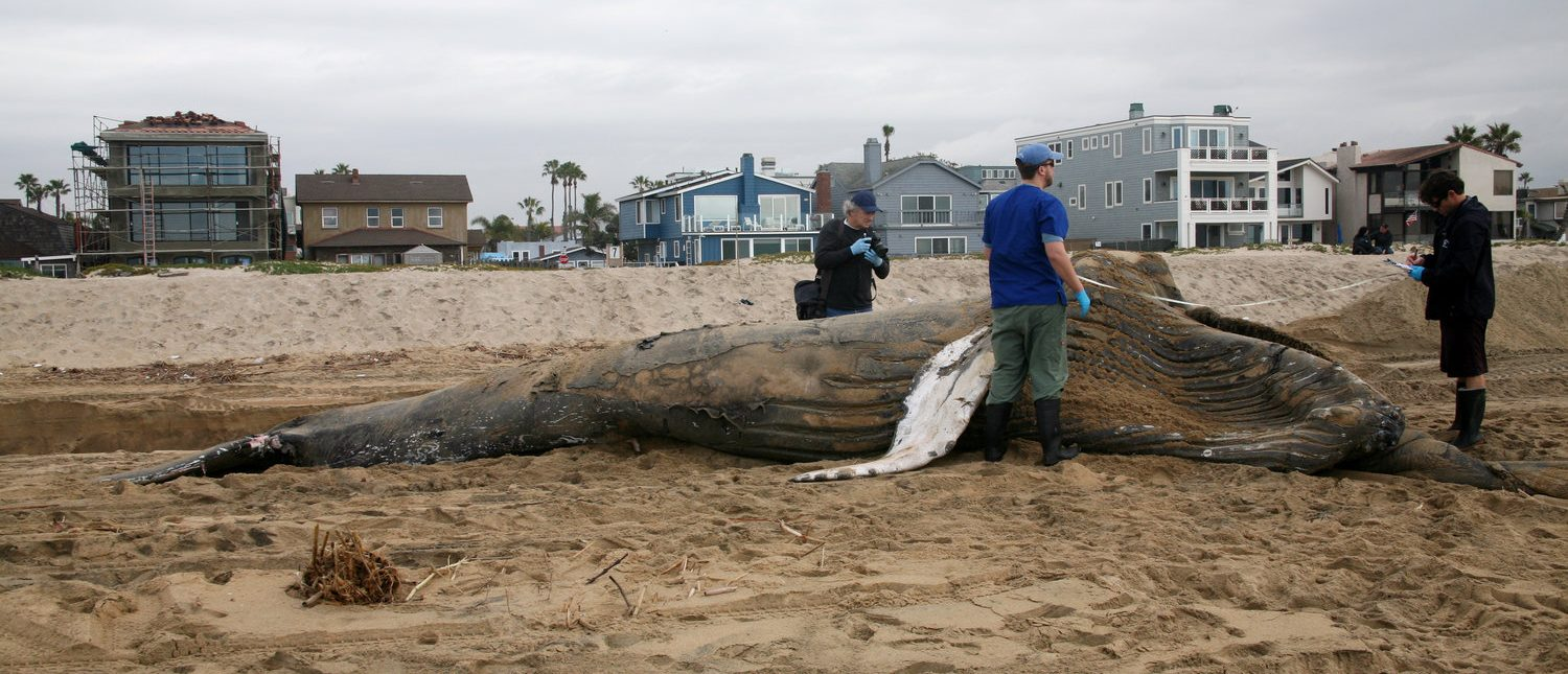 Researchers measure and examine before dissecting a Juvenile Humpback Whale to collect for study and education. Sunset Beach California (Shutterstock/mikeledray)
