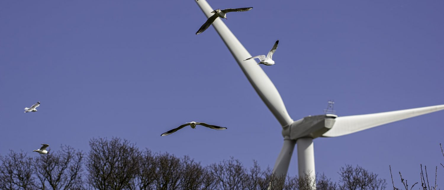 Birds heading towards a wind farm turbine. This image highlights the debate about whether or not wind turbine rotor blades present a danger to bird populations (Shutterstock/Ian Dyball )