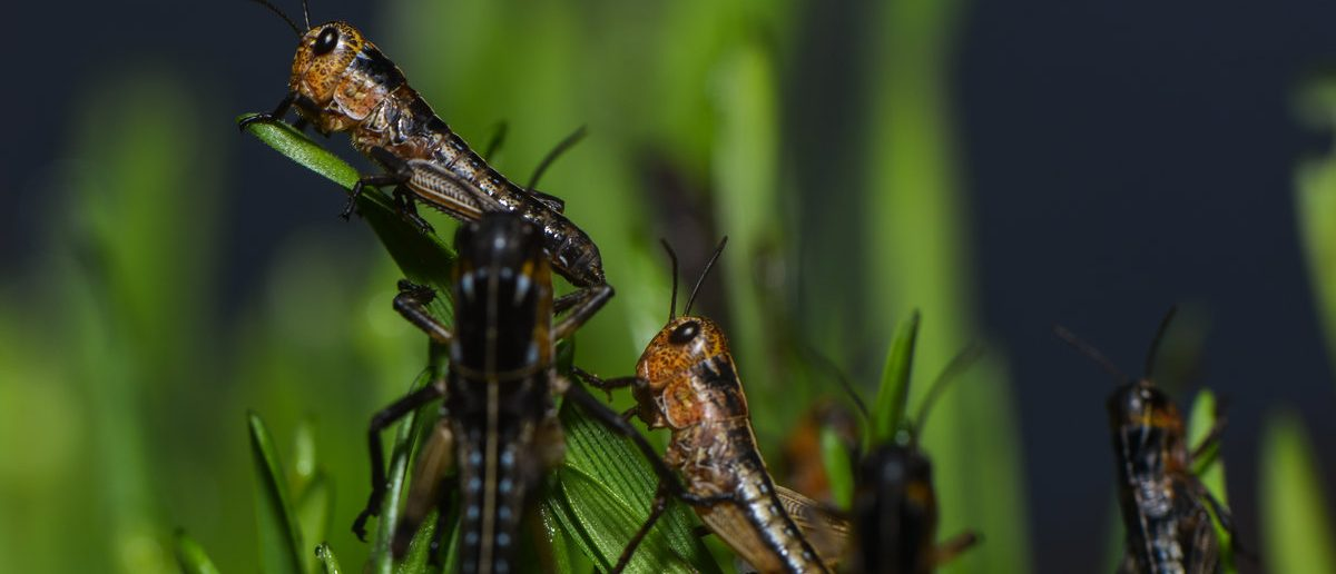 A group of grasshoppers in the grass (Shutterstock/ nounours)