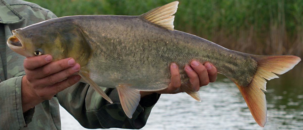 A fisherman displays a large silver carp. (Photo: Shutterstock/Balakleypb)