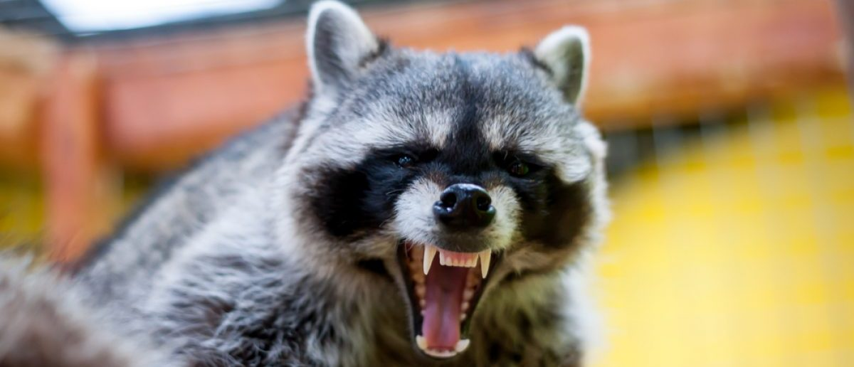A snarling raccoon ready to pounce. [Shutterstock - Vital9s]
