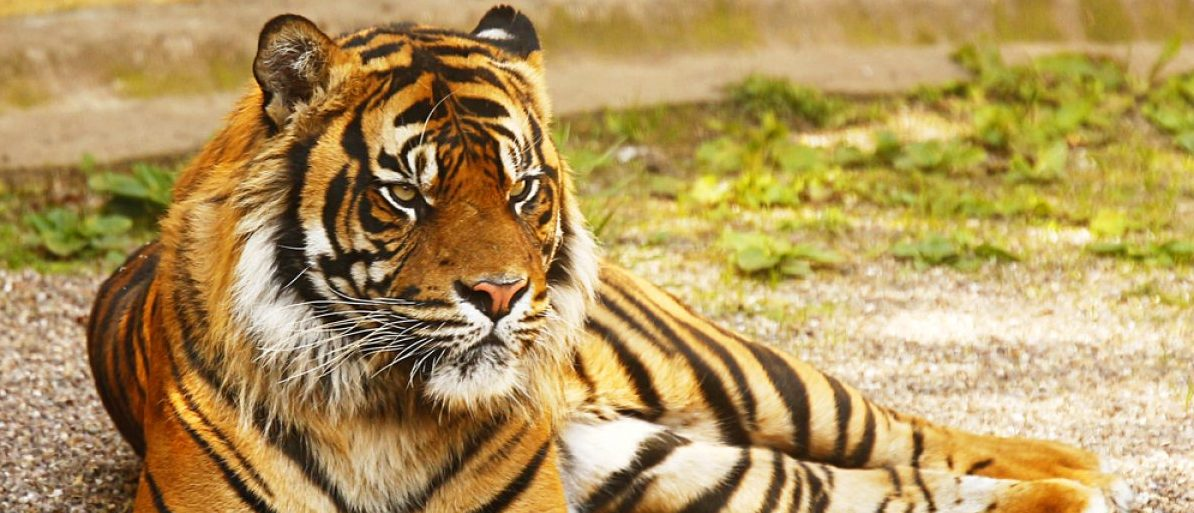 A tiger lies in wait (Shutterstock/CreativeMedia.org.uk)