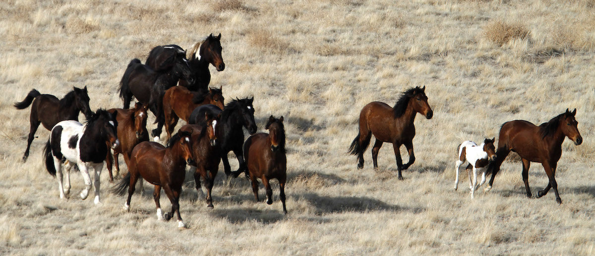 Wild horses run as they are gathered in the West Desert of Utah, outside Tooele, February 18, 2012. Over the course of 12 days, the Bureau of Land Management (BLM) will employ contractors to gather approximately 470 wild horses in the West Desert in a bid to control their numbers. The horses will be captured, the females will receive contraceptive treatment and most will be released back into the wilderness. Some will also be put up for adoption by the BLM. REUTERS/Jim Urquhart (UNITED STATES - Tags: HEALTH SOCIETY ANIMALS) - RTR2Y2Z6