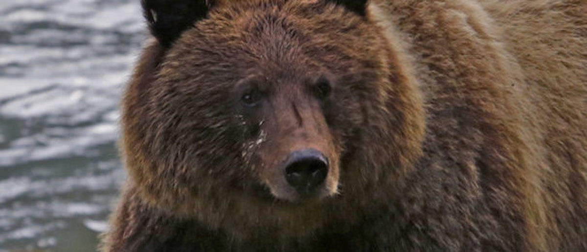 'Escape Genius': Italy On The Hunt For 'Fugitive Bear' With 'Superpowers'