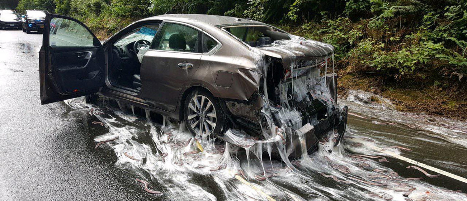Slime eels, otherwise known as Pacific hagfish, cover Highway 101 after a flatbed truck carrying them in tanks overturned near Depoe Bay, Oregon, U.S. July 13, 2017. Oregon State Police/Handout via REUTERS