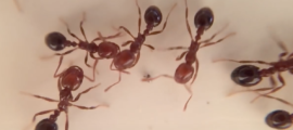Fire ants scurrying across a table. (Youtube screenshot/ It's okay to be smart).