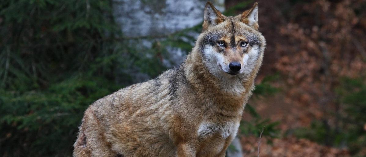 Gray Wolf (Bildagentur Zoonar GmbH/Shutterstock)