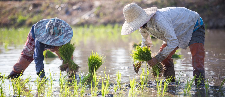 Rice farmers (Shutterstock/Bplanet)
