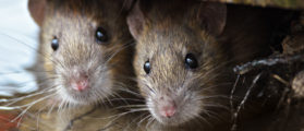 Two cute and curious Brown Rats looking of the cover. (Shutterstock/By Gallinago_media)