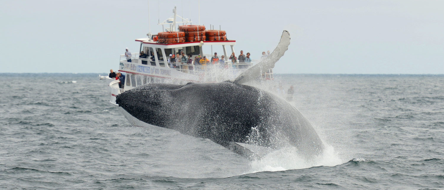 Humpback whale breaching out of the water in front of Whale Watching Boat Miss Cape Ann on the sea near Gloucester, Massachusetts, USA. (Shutterstock/jiawangkun)