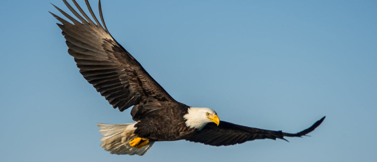 An American bald eagle soaring against clear blue alaskan sky. [Shutterstock - FloridaStock]