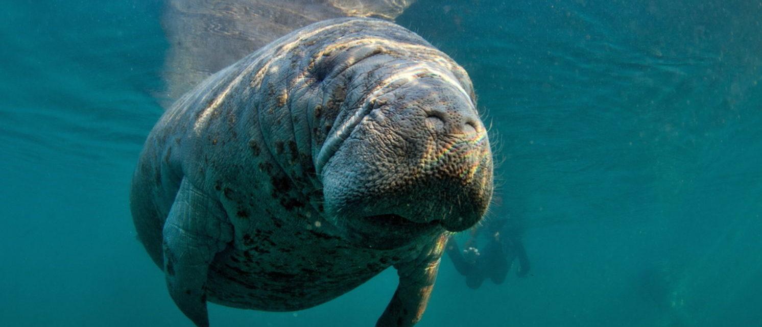Adorable manatee (Shutterstock/Tomas Kotouc)