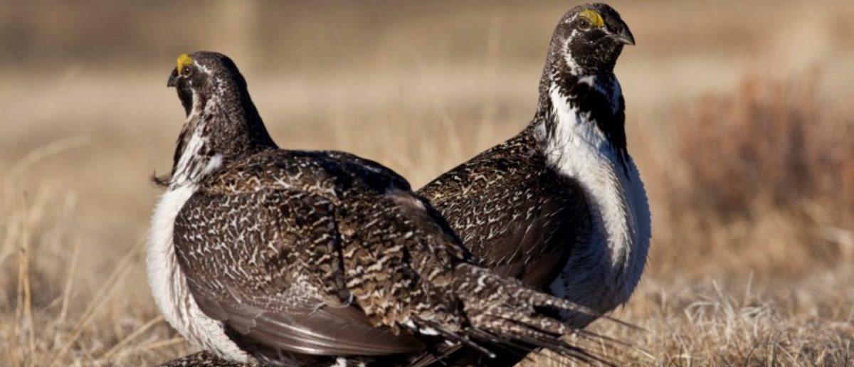FILE PHOTO - U.S. Bureau of Land Management photo of a pair of sage grouse