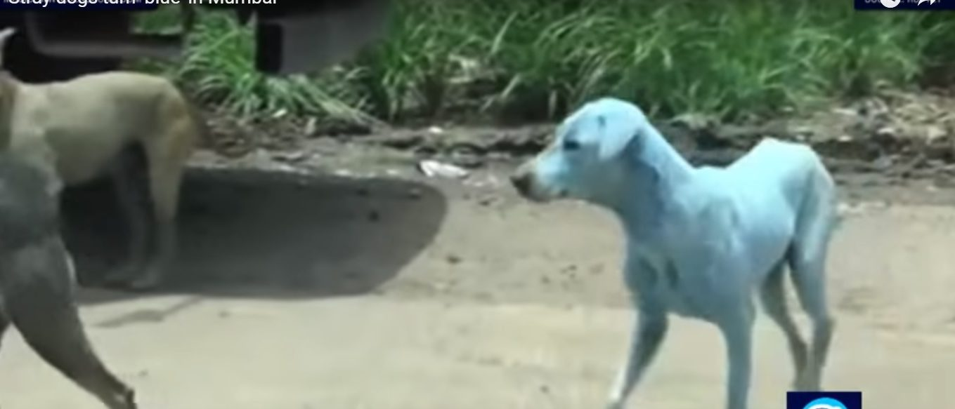 Stray dogs turn blue due to pollutants leaked from a nearby industrial plant/ PressTV News via Youtube/ Screenshot
