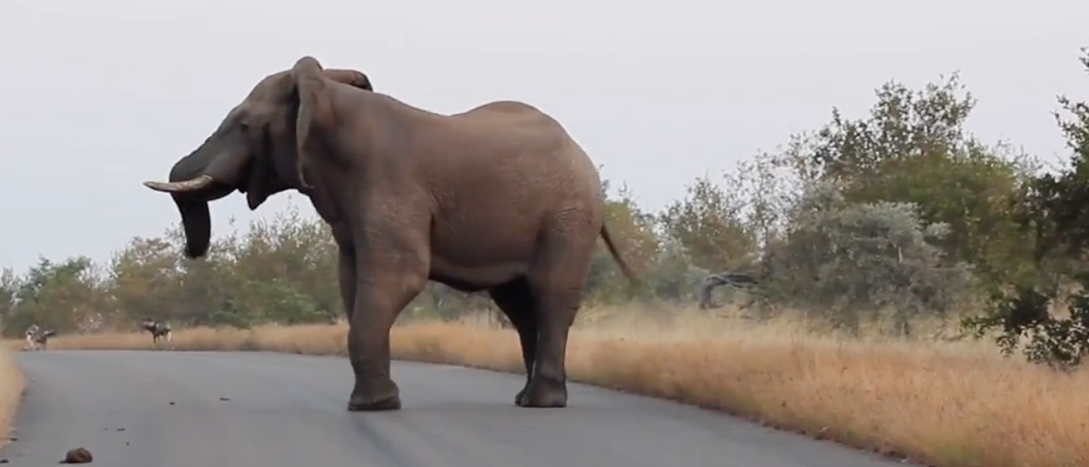 Elephant chases police car. (Youtube screenshot/Kruger Sightings)