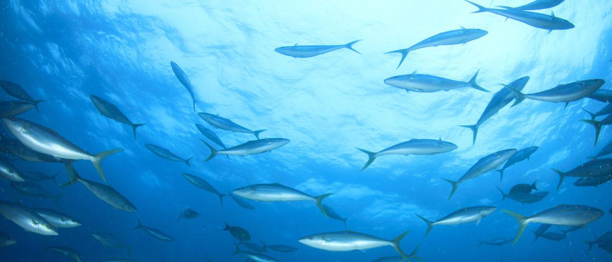 Tuna fish swimming. (Rich Carey/Shutterstock)