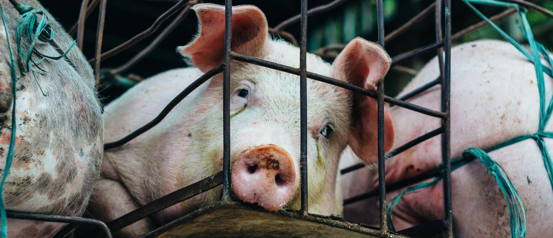 Pig on a truck (Shutterstock/Iryna Hromotska)