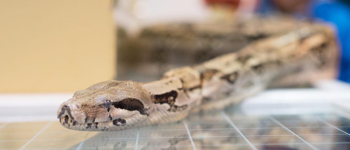 Shutterstock/ Boa constrictor snake head eye detail closeup glass table pet terrarium animal shop show
