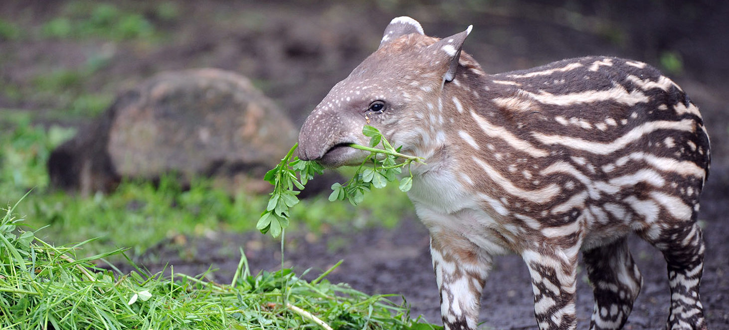 Baby tapir Parima enjoys some leaves during its first outing at its open air enclosure of the Tierpark Hagenbeck zoo in Hamburg, northern Germany, on May 15, 2012. Parima was born on May 1, 2012 at the zoo and is named after a nature protection area in Venezuela. (PHOTO: Getty Images/AFP/DANIEL REINHARD)