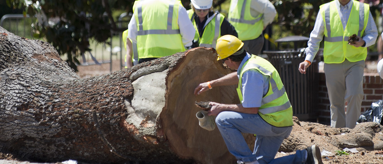 Crews from the Asplundh tree service inspect a oak tree after it was cut down on April 23, 2013 at Toomer's Corner in Auburn, Alabama. Auburn University decided to remove the dying oaks after they were poisoned by a rival fan shortly after the 2010 Iron Bowl. (Photo by Michael Chang/Getty Images)