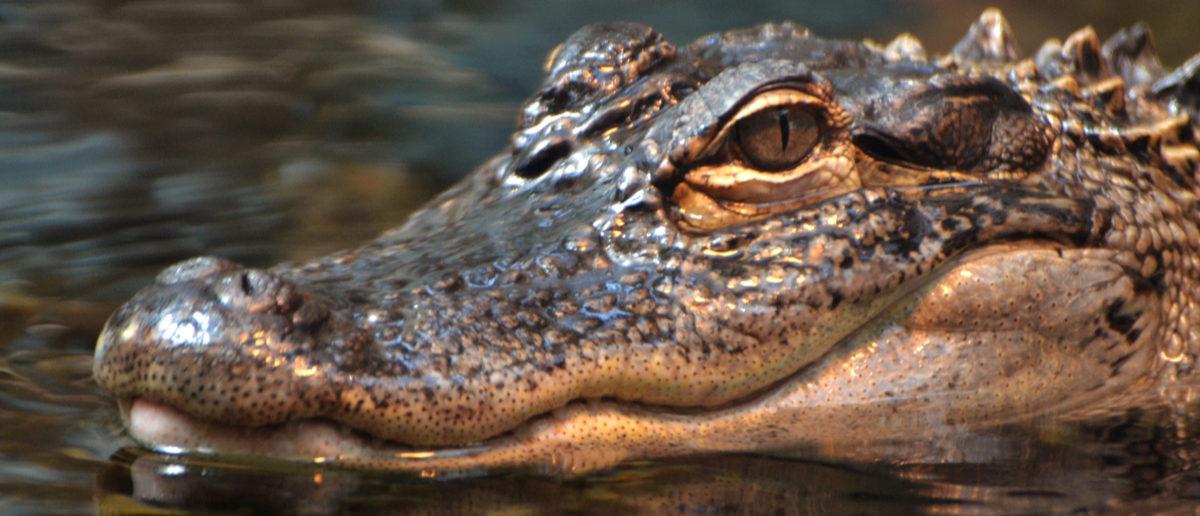 Shutterstock/ An American alligator (Alligator mississippiensis), in a Florida swamp