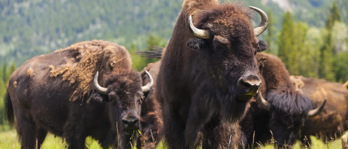 A herd of American bison. (Darren Baker/Shutterstock)