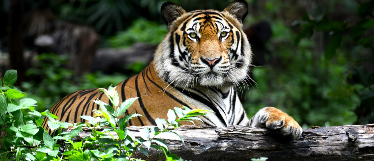 Shutterstock/ Bengal Tiger in forest show head and leg tigerwildlifebengalforestanimalasiaindochinesewoodsgrasstreeeyeheadbigblackbodycarnivorecatcrouchingdangerfacefelinefurhairlookingmammalnatureoneoutdoorsskinstripedwatchingwhiteyellowShow more