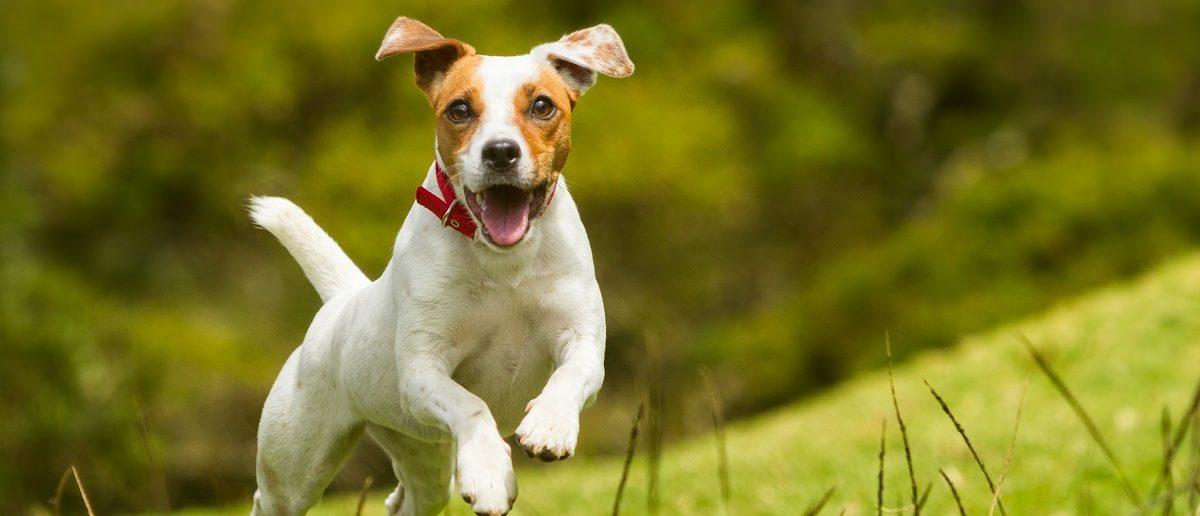 Jack Russell Terrier running across grass. (Credit: Shutterstock)