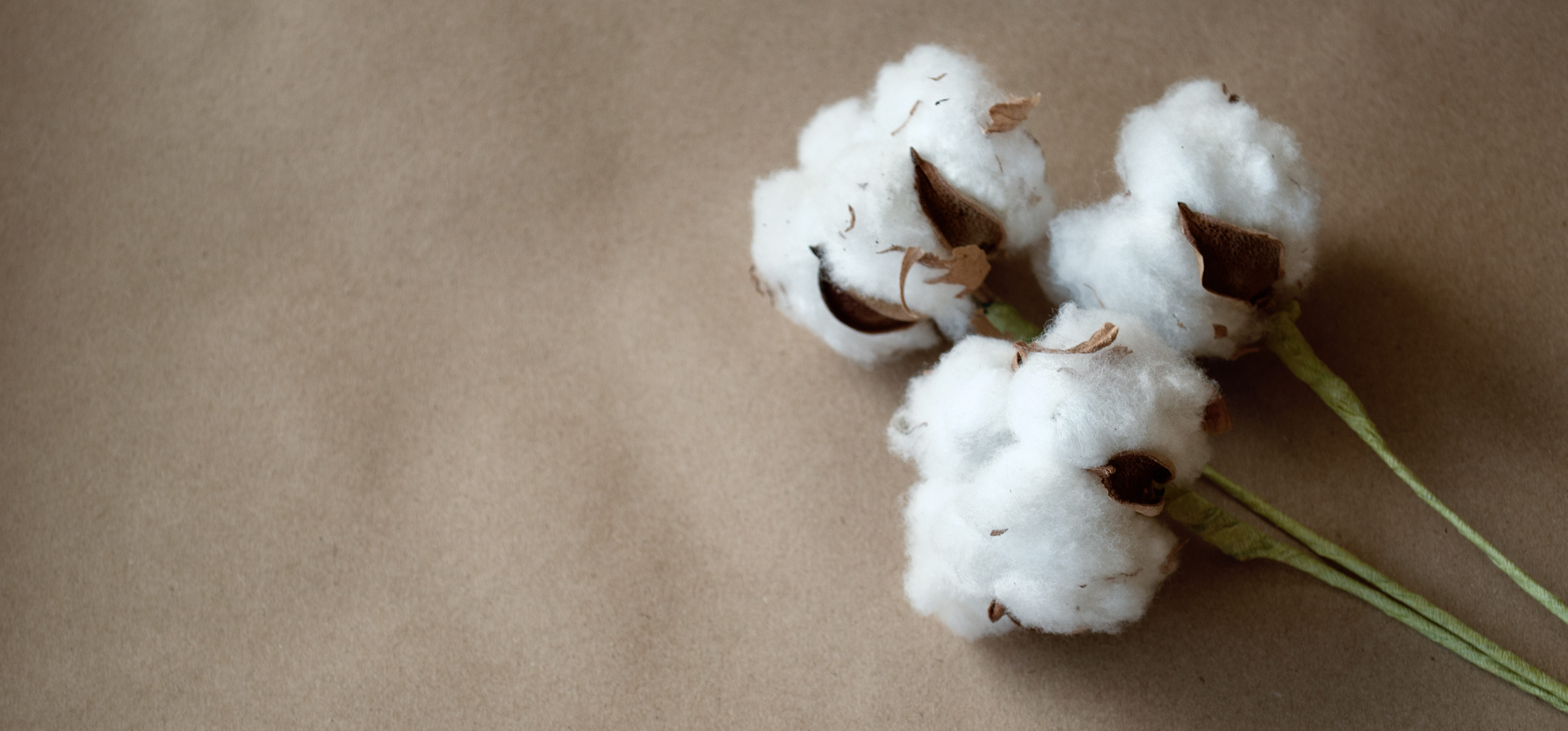 Cotton. Cotton plant, flower. White, fluffy, tender, natural. Nature. Raw material for fabric. Cotton background with kraft paper. Three white flowers. Shutterstock