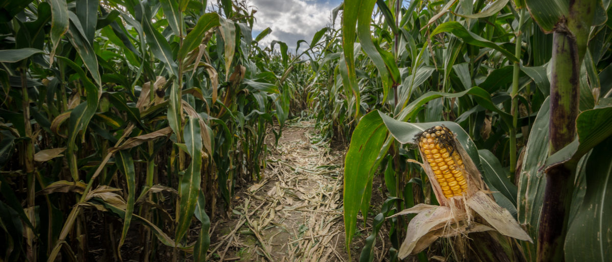 A farm in Atkins, Iowa, is trying to combat bullying by using a corn maze. (Shutterstock)