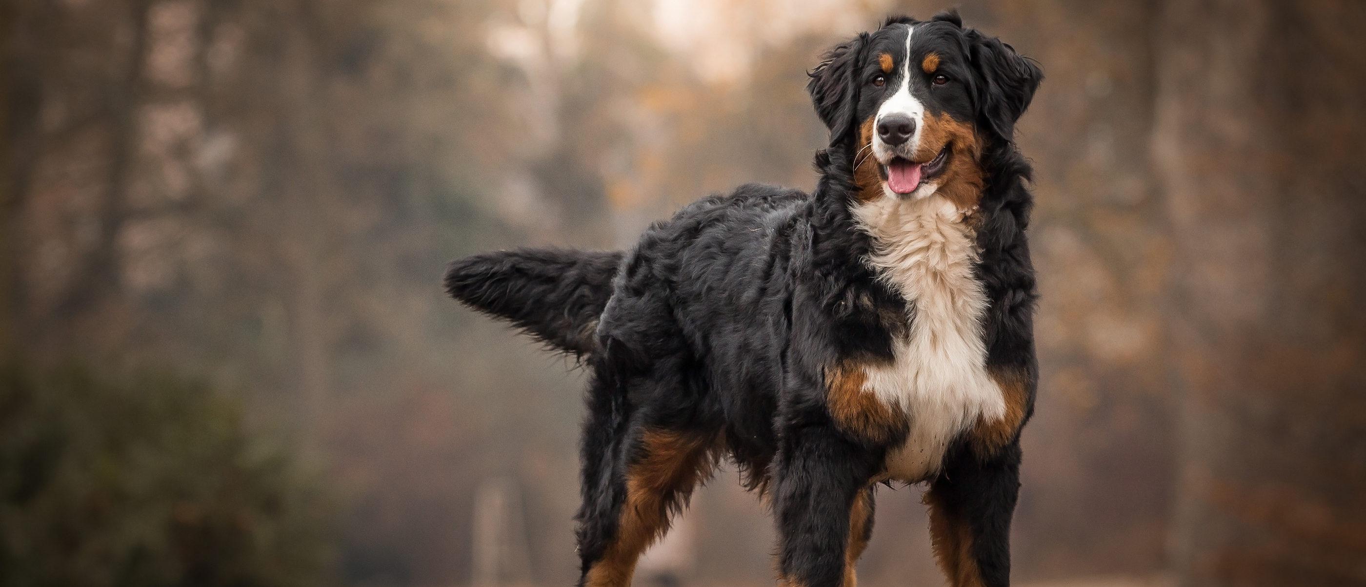 Bernese mountain dog (Photo: Shutterstock)