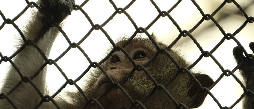 Monkey tries to escape (Photo via Shutterstock)